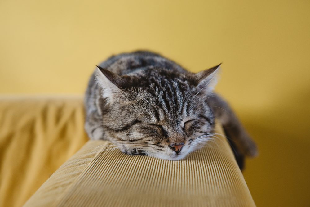 brown tabby cat laying on the arm of a yellow sofa